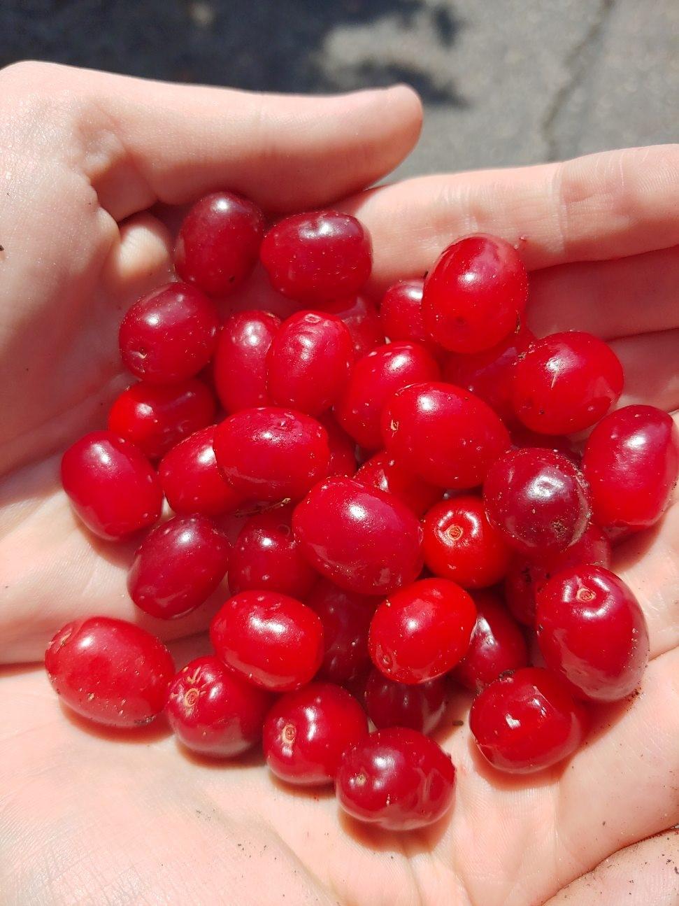 handful of ripe red cornelian cherry dogwood berries